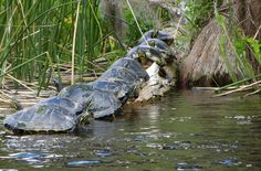 You'll see a LOT of turtles like these in the rivers and lakes around Tallahassee, Florida.