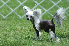Chinese Crested | The Definitive Ranking Of Dog Breeds