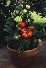 Tomatoes - Growing Tomatoes in Pots