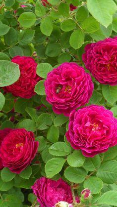 Gardenias, Pretty Roses, Beautiful Roses, Rose Foto, Sweet White Wine, Rose Perfume, Rose Images, Coming Up Roses, Nature