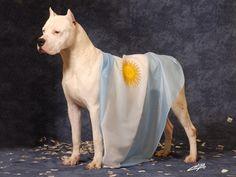 Dogo Argentino (not a pitbull!)