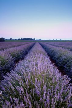Fragrant Isle Lavender Farm, Washington Island, WI. Boasts a collection of beautiful lavender fields on Washington Island, in the Door Peninsula. The pristine waters of Lake Michigan and Green Bay lap gently against their shores and the clean fresh air of Northern Door County nurtures their plants. They grow organic culinary lavender for artisanal chocolates, gelato and herbs de provence as well as lavender used in fine soaps, shampoos, sachets and other products.