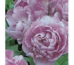 Lilac Perfection Double Tulips