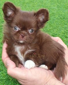 Long Haired Chihuahua Puppies, Chihuahua Breeds, Kittens And Puppies, Chihuahua Love, Cute Puppies, Pet Dogs, Dog Cat, Most Popular Dog Breeds, Dog Signs