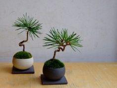 dos bonsais de pino