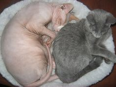 chat nu, sphynx avec chaton bleu russe