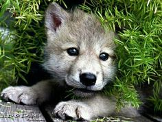 wolfcub