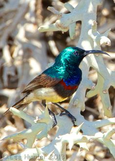 Souimanga Sunbird - This small bird, has a wingspan of It is native to the islands of the western Indian Ocean; Madagascar, the Aldabra Group and the Glorioso Islands. Males display iridescent feathers during mating season. Small Birds, Little Birds, Colorful Birds, Pet Birds, Madagascar, Bird Barn, Barn Owls, Hawk Bird, Flamingo Bird