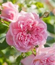 Image result for rose paul transon