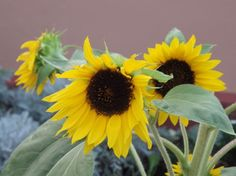 Sunflowers. Swellendam, South Africa. Photograph by Wayne Visser. Copyright 2013.