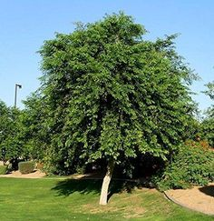 Yellow Indian Rosewood Shade Tree In Pot (With Soil) Nursery - Modern Full Sun Plants, Water Plants, Potted Trees, Trees To Plant, Drought Tolerant Trees, Fast Growing Trees, Landscape Elements, Tree Seeds, Shade Trees