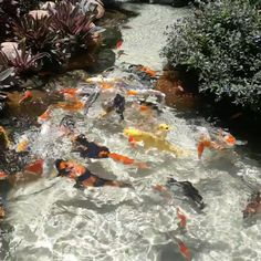 """Koi fish are the domesticated variety of common carp. Actually, the word """"koi"""" comes from the Japanese word that means """"carp"""". Outdoor koi ponds are relaxing. Fish Pond Gardens, Koi Fish Pond, Koi Carp, Fish Ponds, Betta Fish, Fish Fish, Beautiful Fish, Animals Beautiful, Animals And Pets"""