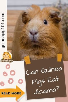 Vegetables are an integral part of our guinea pig's diet. But as an owner, it is crucial that we learn all about the food before serving it to our guinea pigs. So, the question for the day is Can guinea pigs eat jicama? Here is what I have learned about it. #guineaig101 #guineapigcare #guineapigguides #guineapigs #smallpets #guineapigfood Guinea Pig Food, Baby Guinea Pigs, Guinea Pig Care, Guinea Pig Information, Pig Diet, Pigs Eating, List Of Vegetables, Parts Of A Flower, Love Pet