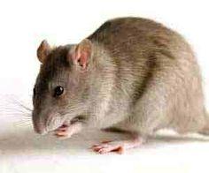 Topi e ratti nei sogni. Cosa significa sognare topi