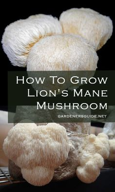 How To Grow Lion's Mane Mushroom - Gardeners' Guide Growing Mushrooms At Home, Garden Mushrooms, Edible Mushrooms, Stuffed Mushrooms, Lion Mane For Cat, Quiche, Mushroom Cultivation, Mushroom Fungi, Mushroom Art