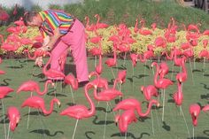 A flamboyance of pink flamingos.