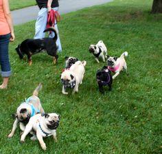 PUG SLOPE » Blog Archive » Patriotic Pug Pack!
