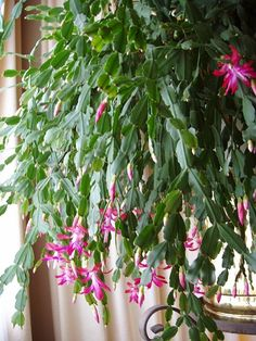Christmas Cactus Care Routine:    -Watered every Sunday (about 1-quart.  Liquid fertilizer in all summer waterings.)    -Each Sunday she is rotated one-quarter turn.    -Stop fertilizing in October.    -Year round East and South filtered sunlight.    -Abundant blooms began after she became root bound.    -Blooms from late October to late April.