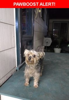Is this your lost pet? Found in Highlands, TX 77562. Please spread the word so we can find the owner!  Small male Yorkie.  Gray,black,tan. Docked tail and ears.  Not neutered.  Very sweet baby.   Thorn street and Begonia lane