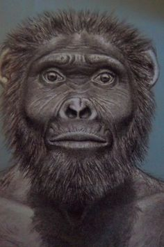 Australopithecus garhi is a gracile australopithecine species whose fossils were discovered in 1996 by a research team led by Ethiopian paleontologist Berhane Asfaw and Tim White, an American paleontologist.[1] The hominin remains are believed to be a human ancestor species and possibly the direct ancestor to the human genus, Homo.