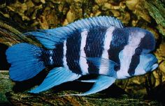 The Cyphotilapia Frontosa Cichlid; one of my favorites. I've had mine for over six years now. His name is Morehead...for obvious reasons.