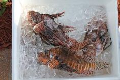 Invasive lionfish likely safe to eat after all - http://scienceblog.com/73693/invasive-lionfish-likely-safe-eat/