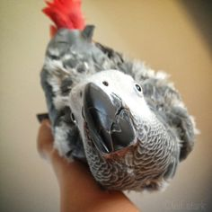 Meet Koji, my African Grey Parrot. He loves to hang upside down from my hand.  #iloveanimals