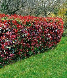 photinia hecke red robin 1a heckenpflanzen