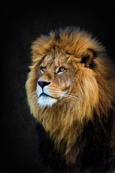 Löwe - The lion king - # lö . - Lion – The lion king – – Favorite – - Lion Photography, Wild Animals Photography, Lion Images, Lion Pictures, Beautiful Cats, Animals Beautiful, Beautiful Pictures, Aigle Animal, Animals And Pets