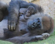 How precious are gorillas!!