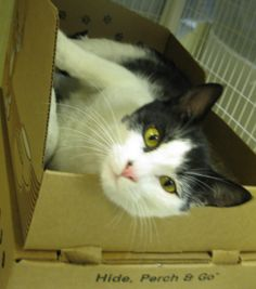 """""""Henderson the Handsome Cat"""" is a two-year old lovebug waiting for you at the BC SPCA Richmond Education & Adoption Centre. Click to learn more. #Cat #Adopt"""