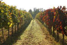 vineyard in Badacsony region