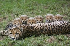 Addison and her fluffy new litter of spots. At the San Diego Zoo Safari Park.
