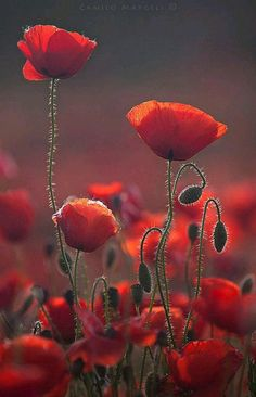 Poppies by wildflower and nature photographer Camilo Margelí.Red Poppies by wildflower and nature photographer Camilo Margelí. My Flower, Beautiful Flowers, Flower Colors, Colours, Jolie Photo, Red Poppies, Poppy Flowers, Planting Flowers, Bloom
