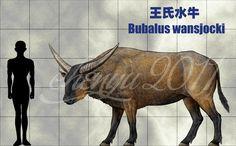 王氏水牛(Bubalus wansjocki) Bubalus wansjocki from late Pleistocene found in the river~lacustrine deposits,Inner Mongoli and Northeast China.Is a kind of living in the cold ...