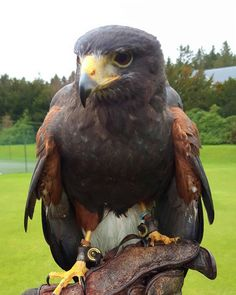 Amazing falconry lesson with Victor at Gleneagles Visit Britain, Lake District, Azores, History, Instagram Posts, Scotland, Animals, Twitter, Amazing