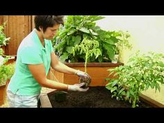 Tomato Pruning: How to Prune Tomatoes