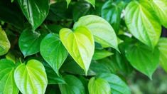 Consuming betel leaf increases the level of vitamin E, glutathione, ascorbic acid. These are potent and are of great use to patients who suffer from bronchial chronic Amino Acids, Natural Remedies, Plant Leaves, Vitamins, Flora, Plants, Health Benefits, Diabetes, Health Care