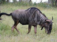 Blue Wildebeest, Kruger National Park, South Africa, © Scotch Macaskill