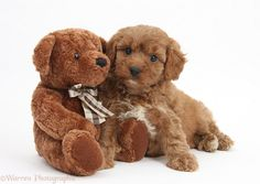 25375-Cavapoo-pup-6-weeks-old-and-soft-teddy-bear-white-background.jpg (1358×965)
