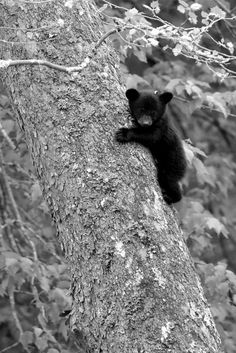 Now that is one tiny little Bear - up a tree - where he's safe - while the Mom - takes care of business - down below - where the photographer - is - - or - - -