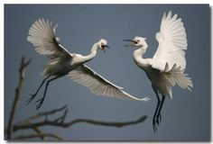 Egrets trying to get your attention showing off a bit ...
