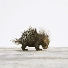 the Animal Print Shop by Sharon Montrose, I love this picture of a baby porcupine - looks just like me in the morning