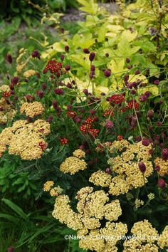 Achillea Strawberry Seduction with Sanguisorba Tanna against Filipendula ulmaria Aurea; Nancy J. Ondra at Hayefield