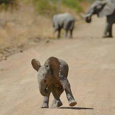 Adorable little elephant! Found on IG Adorable little elephant! Photo Elephant, Image Elephant, Elephant Love, Baby Elephants, Little Elephant, Cute Baby Animals, Animals And Pets, Funny Animals, Wild Animals