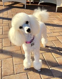 When are we going for our walkie? Poodle Grooming, Dog Grooming, Perros French Poodle, Cortes Poodle, Cute Puppies, Cute Dogs, Corgi Puppies, Mini Poodles, Toy Poodles