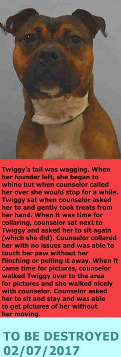 MURDERED 02/07/2017 --- Manhattan Center My name is TWIGGY. My Animal ID # is A1102784. I am a spayed female brown and black staffordshire mix. The shelter thinks I am about 1 YEAR I came in the shelter as a STRAY on 02/02/2017 from NY 10474, owner surrender reason stated was STRAY. http://nycdogs.urgentpodr.org/twiggy-a1102784/
