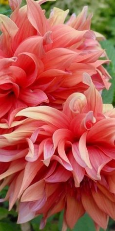 coral, salmon & pink flowers