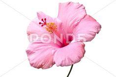Pink hibiscus isolat