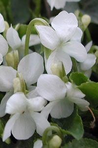Viola odorata 'Alba' - Weißes Duft-Veilchen